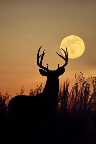 White-Tailed Deer (Odocoileus Virginianus) at Harvest Moon, Texas, USA-Larry Ditto-Photographic Print