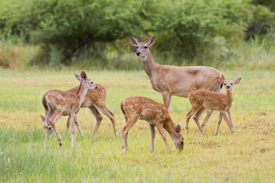 White-Tailed Deer (Odocoileus Virginianus) Doe with Fawns, Texas, USA-Larry Ditto-Photographic Print