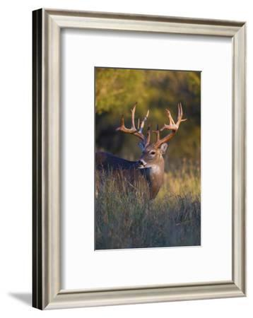 White-tailed Deer (Odocoileus virginianus) in cactus, grass and thornbrush habitat-Larry Ditto-Framed Photographic Print