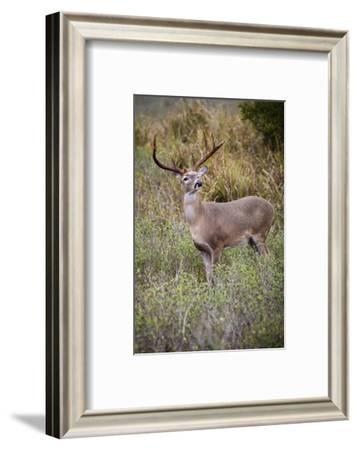 White-tailed deer (Odocoileus virginianus) male.-Larry Ditto-Framed Photographic Print