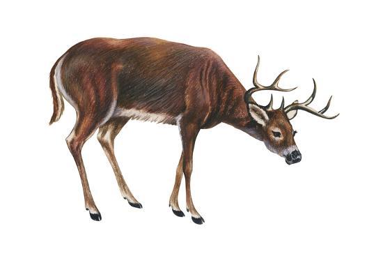 White-Tailed Deer (Odocoileus Virginianus), Mammals-Encyclopaedia Britannica-Art Print