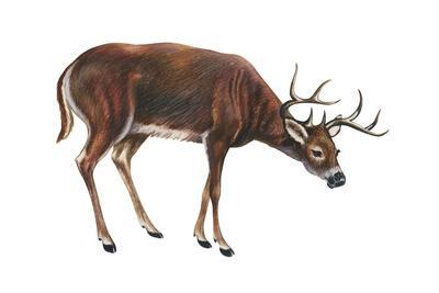 https://imgc.artprintimages.com/img/print/white-tailed-deer-odocoileus-virginianus-mammals_u-l-q135lj10.jpg?p=0