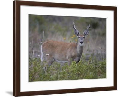 White-Tailed Deer (Whitetail Deer) (Virginia Deer) (Odocoileus Virginianus) Buck-James Hager-Framed Photographic Print
