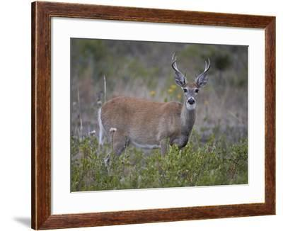 White-Tailed Deer (Whitetail Deer) (Virginia Deer) (Odocoileus Virginianus) Buck-James Hager-Framed Photographic Print