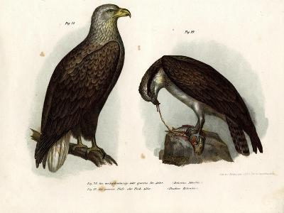 White-Tailed Eagle, 1864--Giclee Print