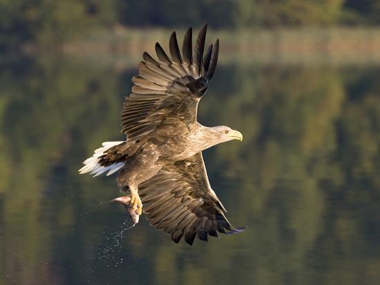 White-Tailed Eagle (Haliaeetus Albicilla) Flying, Norway-Ingo Arndt/Minden Pictures-Photographic Print