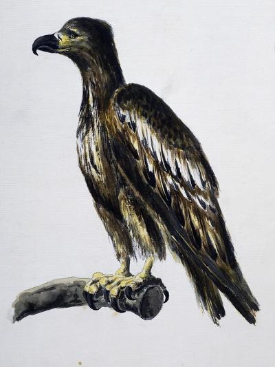 White-Tailed Eagle (Haliaeetus Albicilla), Watercolour, France, 18th Century--Giclee Print