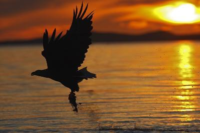 White-Tailed Eagle in Flight Above Water With--Photographic Print
