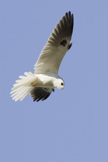 White-Tailed Kite Hunting-Hal Beral-Photographic Print