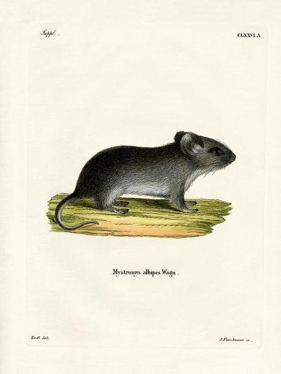 White-Tailed Mouse--Giclee Print