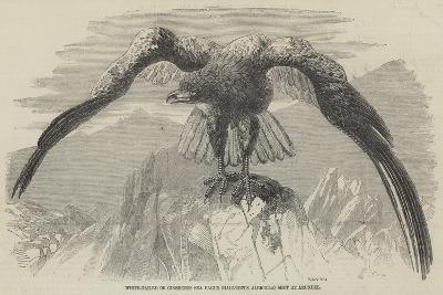 White-Tailed or Cinereous Sea Eagle (Hallaeetus Albicilla) Shot at Arundel--Giclee Print