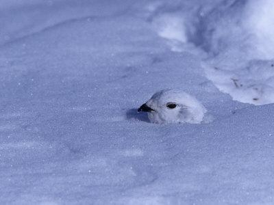 White-Tailed Ptarmigan, Lagopus Leucurus, in Winter Plumage Almost Buried by Snow, North America-Charles Melton-Photographic Print