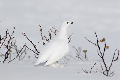 White-Tailed Ptarmigan Male in Snow--Photographic Print