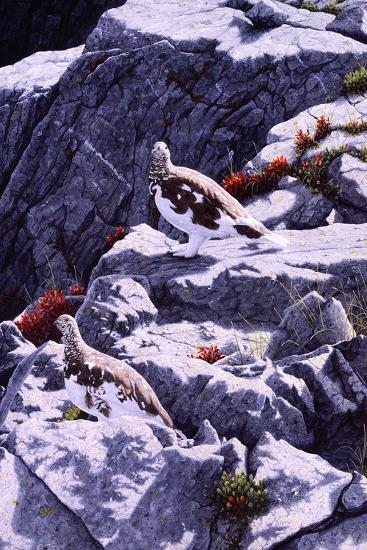 White-Tailed Ptarmigan-Jeff Tift-Giclee Print