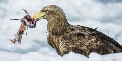 White Tailed Sea Eagle (Haliaeetus Albicilla) Feeding on Fish on Pack Ice-Wim van den Heever-Photographic Print