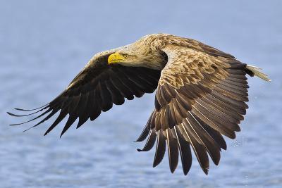 White-Tailed Sea Eagle (Haliaeetus Albicilla) In Flight. Flatanger, Norway, May-Andy Trowbridge-Photographic Print