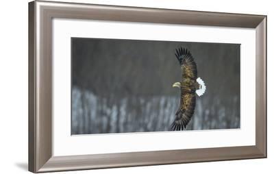 White Tailed Sea Eagle (Haliaeetus Albicilla) in Flight, Hokkaido, Japan, March-Wim van den Heever-Framed Photographic Print