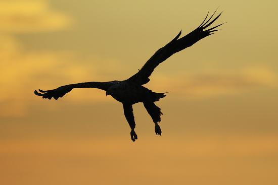 White Tailed Sea Eagle (Haliaeetus Albicilla) in Flight Silhouetted Against an Orange Sky, Norway-Widstrand-Photographic Print