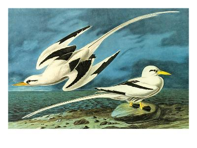 White-Tailed Tropic Bird-John James Audubon-Art Print