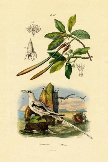 White-Tailed Tropicbird, 1833-39--Giclee Print