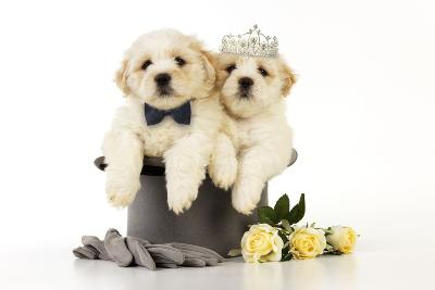 White Teddy Bear Puppies Sitting in a Top--Photographic Print