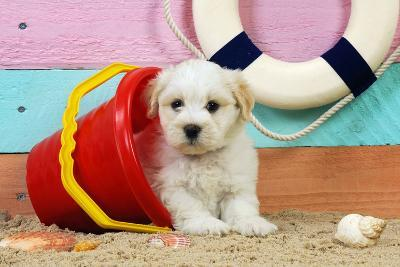 White Teddy Bear Puppy at the Beach in a Bucket--Photographic Print