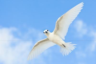 White Tern-Peter Chadwick-Photographic Print