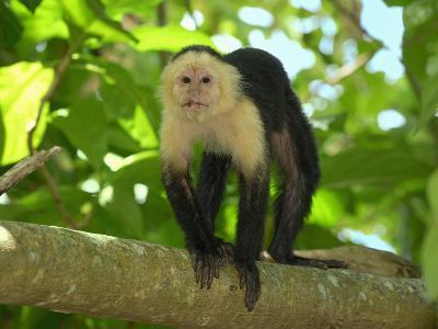 White-Throated Capuchin (Cebus Capucinus), Cahuita National Park, Costa Rica-Thomas Marent-Photographic Print