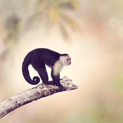 White Throated Capuchin Monkey on a Branch-Svetlana Foote-Photographic Print