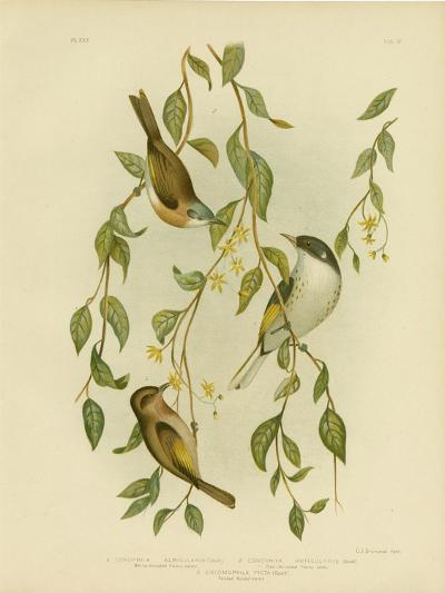 White-Throated Honeyeater, 1891-Gracius Broinowski-Giclee Print