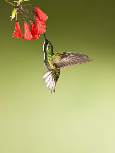 White-Throated Mountain-Gem Hummingbird Nectaring at a Red Tubular Flower-Joe McDonald-Photographic Print