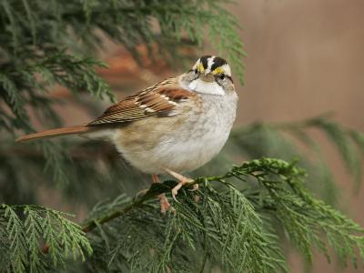 White-Throated Sparrow, Zonotrichia Albicollis, North America-John Cornell-Photographic Print