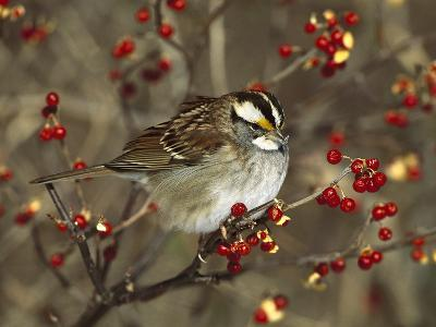 White-Throated Sparrow (Zonotrichia Albicollis) Perched in Bittersweet Bush, Long Island, New York-Tom Vezo/Minden Pictures-Photographic Print