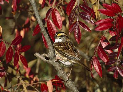 White-Throated Sparrow (Zonotrichia Albicollis) Perching in Bush, Long Island, New York-Tom Vezo/Minden Pictures-Photographic Print