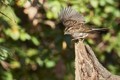 White-Throated Sparrow-Gary Carter-Photographic Print