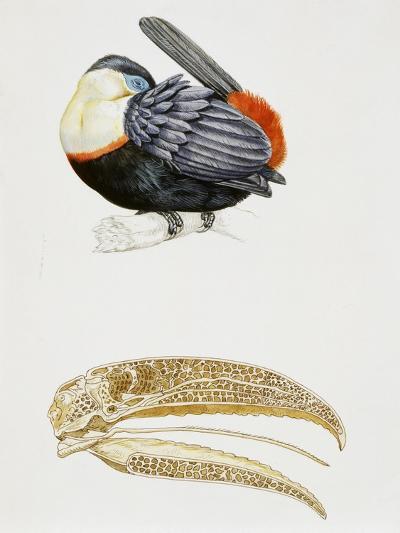 White-Throated Toucan (Ramphastos Tucanus) and its Beak Bone Structure, Ramphastidae--Giclee Print