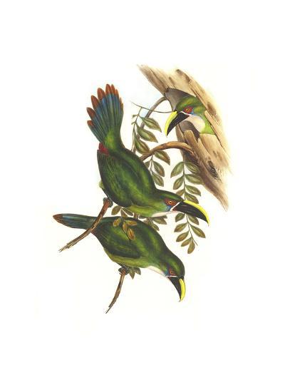 White Throated Toucanet-John Gould-Art Print