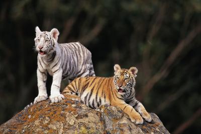 White Tiger and Orange Tiger on Rock-DLILLC-Photographic Print