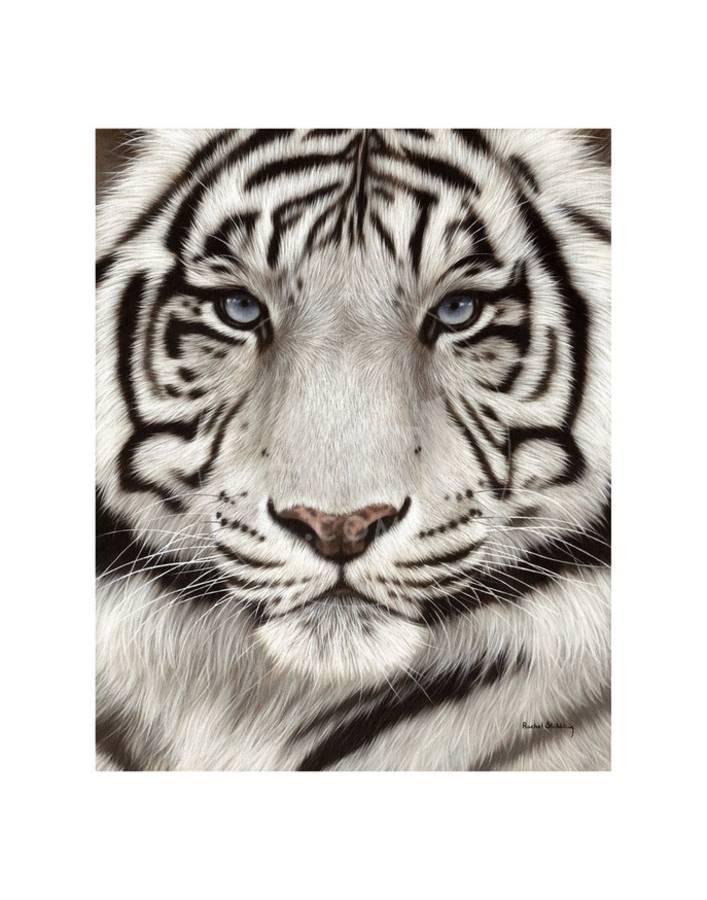White Tiger Face Portrait Art Print by Rachel Stribbling | Art com