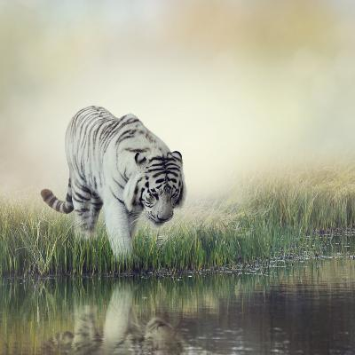 White Tiger near A Pond-abracadabra99-Photographic Print