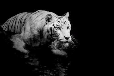 White Tiger-Kjersti-Art Print