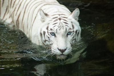 White Tiger-noelbynature-Photographic Print