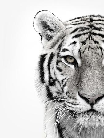 https://imgc.artprintimages.com/img/print/white-tiger_u-l-q1g664z0.jpg?p=0