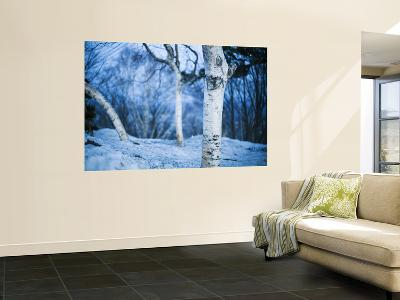 White Trees and Snow at Mount Moiwa Lookout-Shayne Hill-Wall Mural