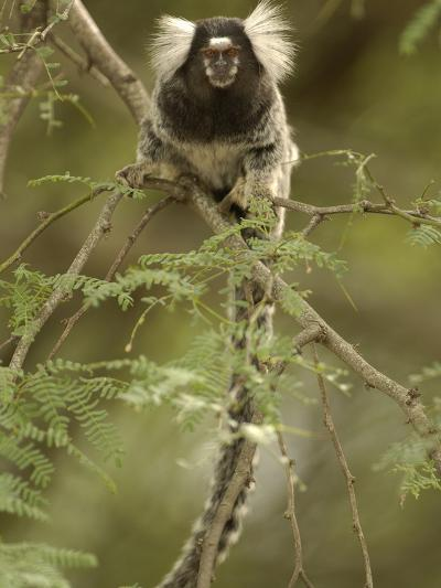 White-Tufted-Ear Marmoset or Common Marmoset (Callithrix Jacchus) in Tree, Brazil-Pete Oxford-Photographic Print