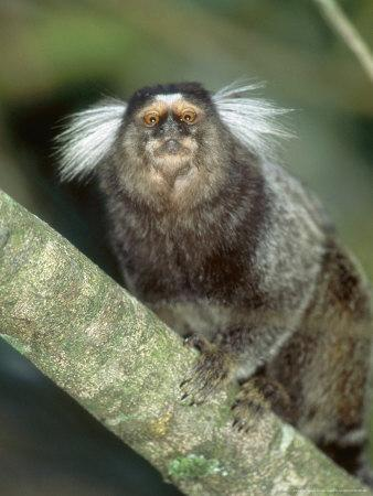 https://imgc.artprintimages.com/img/print/white-tufted-eared-marmoset-tijuca-national-park-brazil_u-l-q10r7b20.jpg?p=0