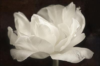 https://imgc.artprintimages.com/img/print/white-tulip-iii_u-l-q12u4f60.jpg?p=0