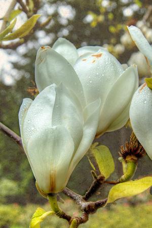https://imgc.artprintimages.com/img/print/white-tulip-tree-ii_u-l-q19ykj70.jpg?p=0