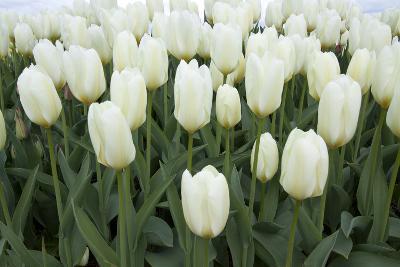 White Tulips I-Dana Styber-Photographic Print