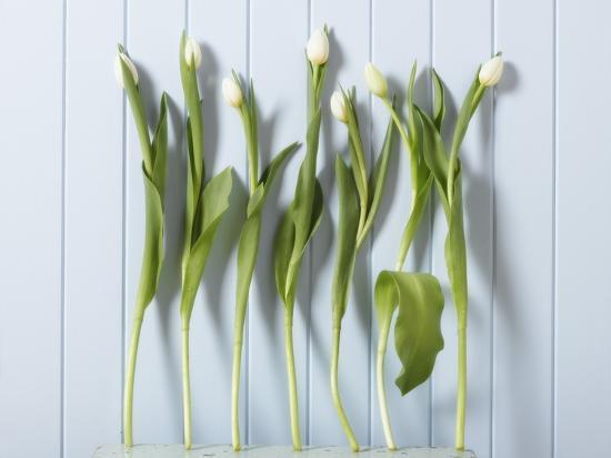 White Tulips in a Row--Photographic Print